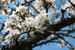 开花在庭院里的春天 库存照片