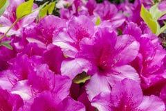 开花在庭院里的杜娟花花 库存图片