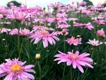 开花在庭院里的桃红色延命菊雏菊花 图库摄影