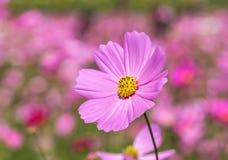 开花在庭院里的桃红色波斯菊花 库存图片