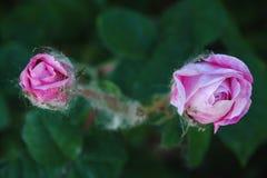 开花在庭院里的桃红色玫瑰 免版税图库摄影