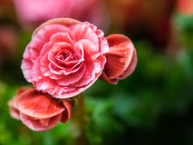 开花在庭院里的桃红色秋海棠花 库存图片