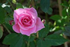开花在庭院里的桃红色罗斯 库存图片