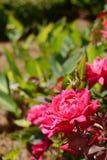 开花在庭院里的桃红色花 免版税库存照片