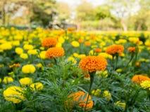 开花在庭院里的橙色和黄色万寿菊花或百日菊属花 库存图片