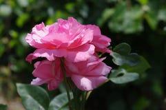 开花在庭院里的淡粉红的玫瑰 免版税库存照片
