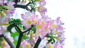 开花在庭院里的热带赤素馨花花 库存图片
