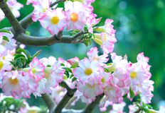 开花在庭院里的热带赤素馨花花 免版税库存照片