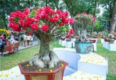 开花在庭院里的热带赤素馨花花 免版税图库摄影