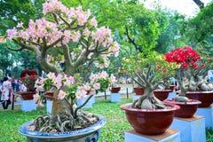 开花在庭院里的热带赤素馨花花 免版税库存图片