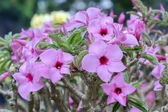 开花在庭院里的热带赤素馨花花 库存照片