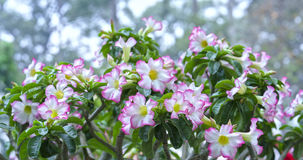 开花在庭院里的热带赤素馨花花 图库摄影