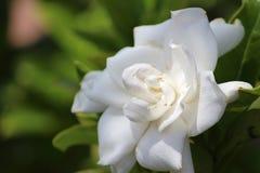 开花在庭院里的白色玫瑰 库存图片