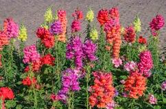 开花在庭院里的短冷期龙 免版税库存照片