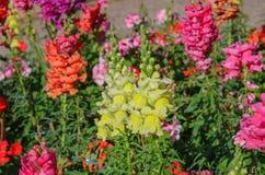 开花在庭院里的短冷期龙 库存图片