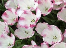 开花在庭院里的种类植物的郁金香 免版税库存照片