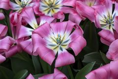 开花在庭院里的种类植物的郁金香 免版税图库摄影
