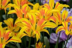 开花在庭院里的种类植物的郁金香 免版税库存图片