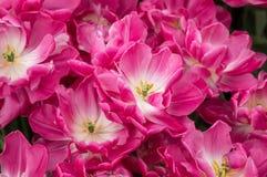开花在庭院里的种类植物的郁金香 库存照片