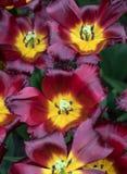 开花在庭院里的种类植物的郁金香 库存图片