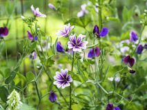 开花在庭院里的紫色和白色蜀葵冬葵 库存照片