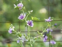 开花在庭院里的紫色和白色蜀葵冬葵 免版税图库摄影
