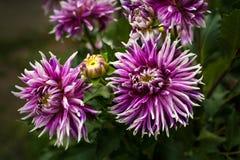 开花在庭院里的紫色大丽花在夏天 免版税库存图片