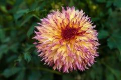 开花在庭院里的紫色大丽花在夏天 库存图片