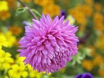 开花在庭院里的紫色菊花花 免版税库存图片