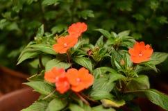 开花在庭院里的红色花 免版税库存照片
