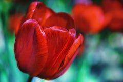 开花在庭院里的红色郁金香 免版税库存照片