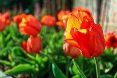 开花在庭院里的红色郁金香 免版税图库摄影