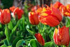 开花在庭院里的红色郁金香 图库摄影
