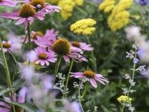 开花在庭院里的红色coneflowers 库存图片