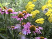 开花在庭院里的红色coneflowers 免版税库存照片