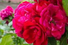 开花在庭院里的美丽的桃红色玫瑰 库存图片