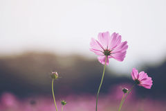 开花在庭院里的美丽的波斯菊花 库存照片