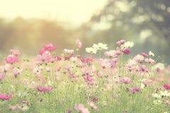 开花在庭院里的美丽的波斯菊花 库存图片