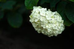 开花在庭院里的美丽的白色八仙花属在雨以后 库存照片