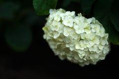 开花在庭院里的美丽的白色八仙花属在雨以后 免版税库存图片