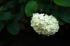 开花在庭院里的美丽的白色八仙花属在雨以后 库存图片