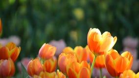 开花在庭院里的美丽的郁金香 影视素材