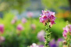 开花在庭院里的美丽的snapdragon花 库存图片