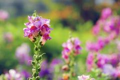开花在庭院里的美丽的snapdragon花 库存照片