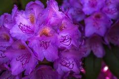 开花在庭院里的自然观点的五颜六色的紫罗兰色杜娟花在自然阳光下在晴朗的夏天或春日 免版税库存照片