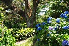 开花在庭院里的蓝色八仙花属 库存照片