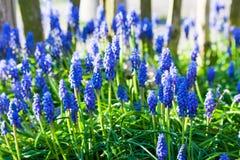 开花在庭院里的蓝色葡萄风信花在阳光下 免版税图库摄影