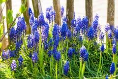 开花在庭院里的蓝色葡萄风信花在阳光下 免版税库存照片