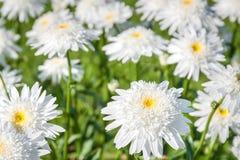 开花在庭院里的降下一棵白色春黄菊 库存图片