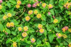 开花在庭院里的马樱丹属camara五颜六色的花 库存图片